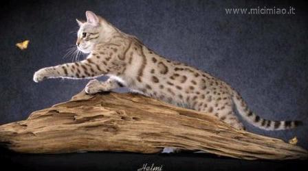 Le razze dei gatti a pelo corto: Gatto del Bengala (è difficile andare avanti senza Rudy!) dans gatti bengala