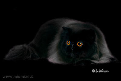 Il Gatto Persiano Nero