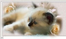 Gatti le malattie virali feline felv fiv fip - Che malattie portano i gatti ...