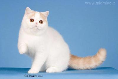 Il Gatto Exotic Shorthair