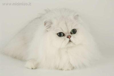 Il Gatto Chinchilla